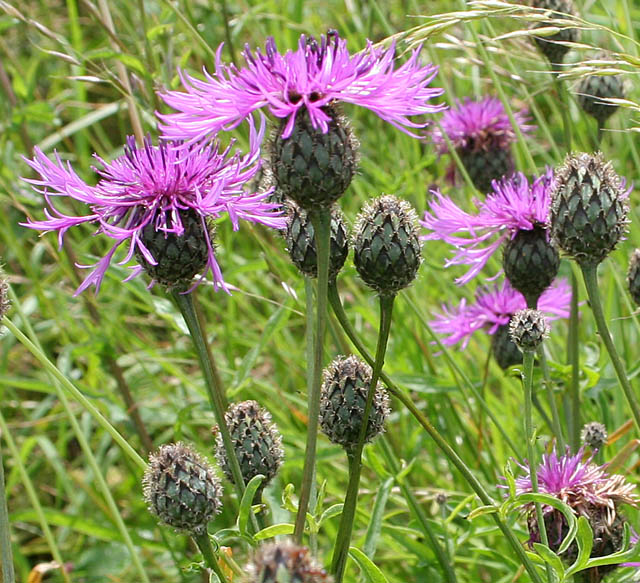 how to get rid of knapweed