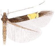 Cosmopterix navarroi.JPG