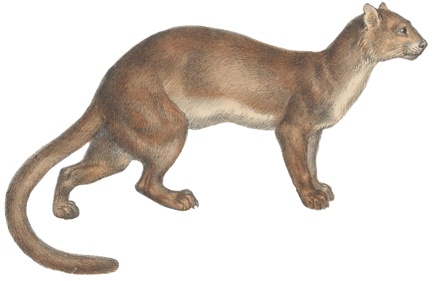 cougar de 70 ans
