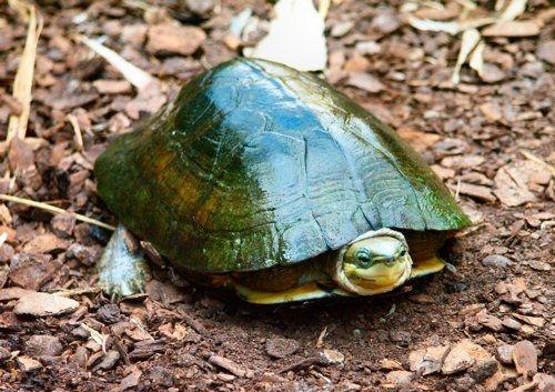 Golden Turtle Menu Kitchener