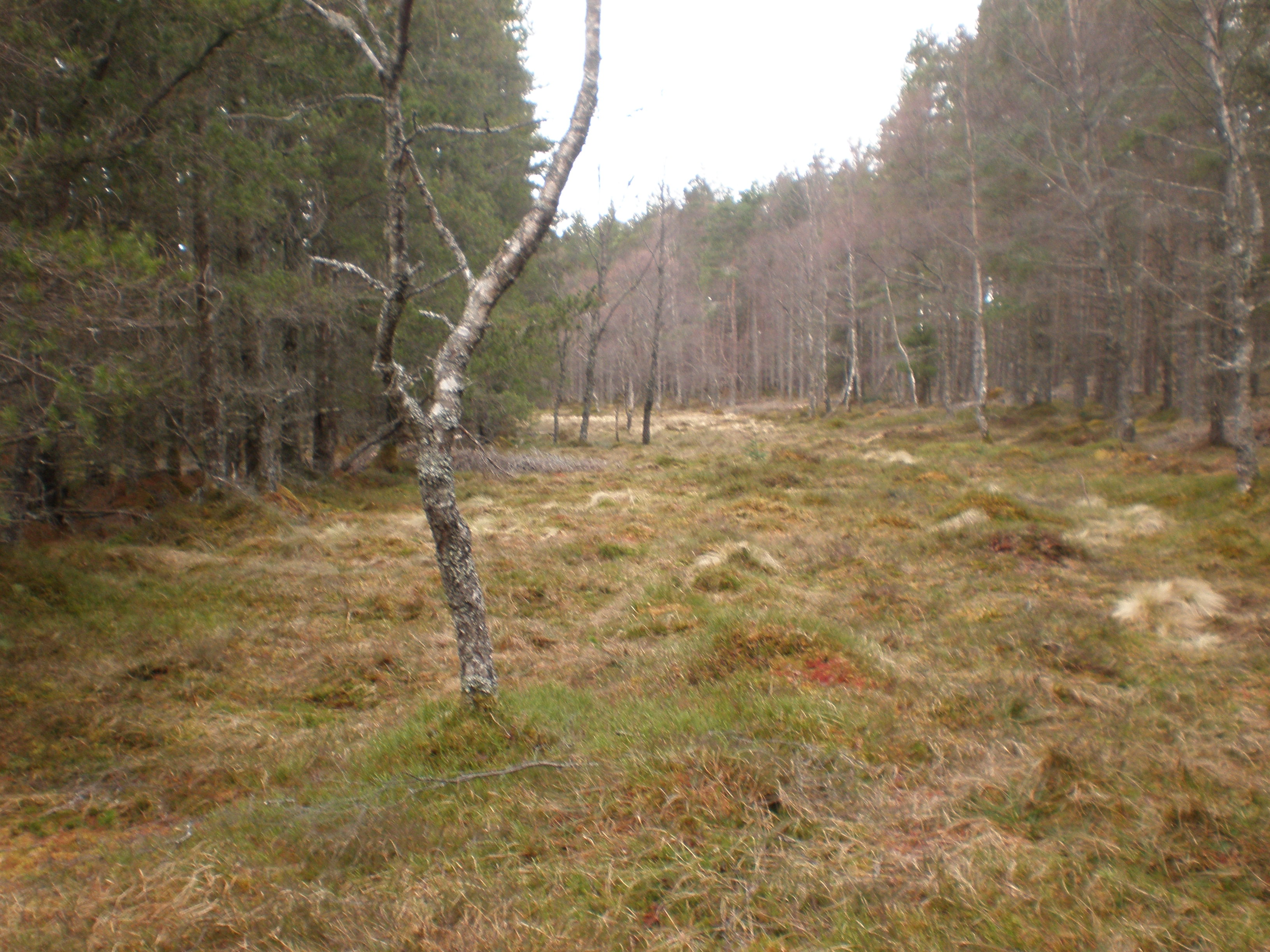 File:Deer track through forest clearing - geograph.org.uk - 1779430.jpg -  Wikimedia Commons
