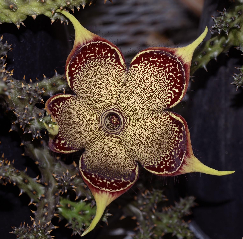 Edithcolea grandis.jpg