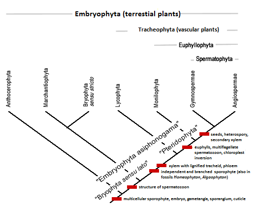 Phylogenetic tree of groups of Embryophytes according to Engler