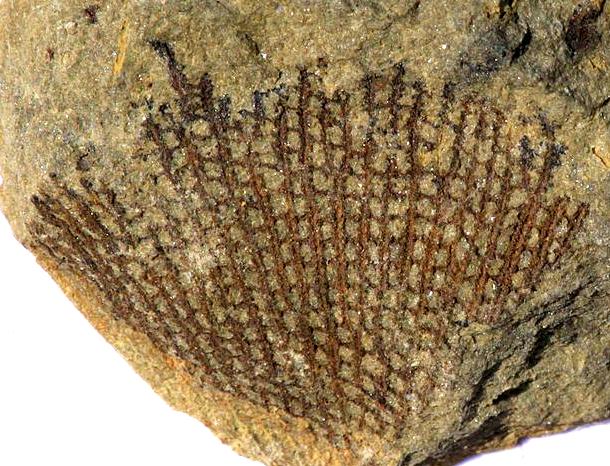 Fenestella Bryozoan Wikipedia