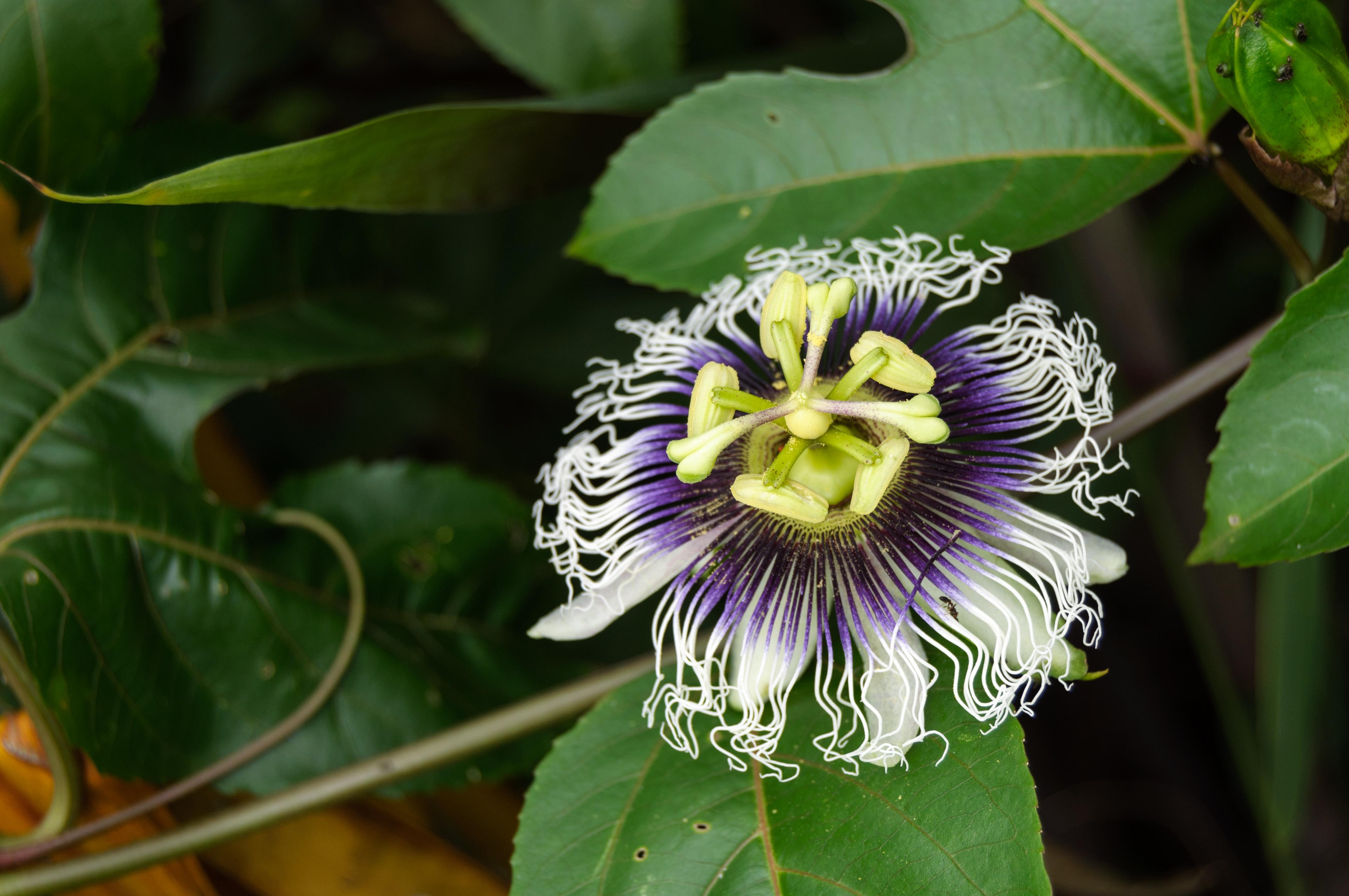 File Flor Maracujá Flower of Passion Fruit Flor de la fruta de la pasión