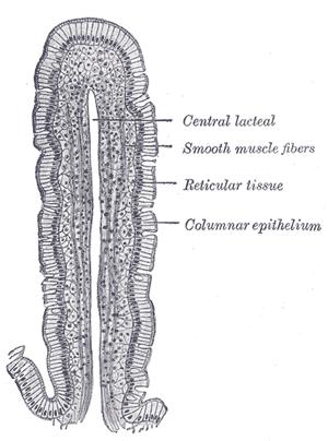 狗小肠肠绒毛的横切面,披覆于表层的即是单层柱状上皮。