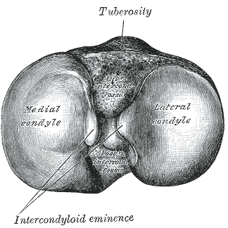 Upper surface of right tibia. (Anterior is at top.) Gray257.png
