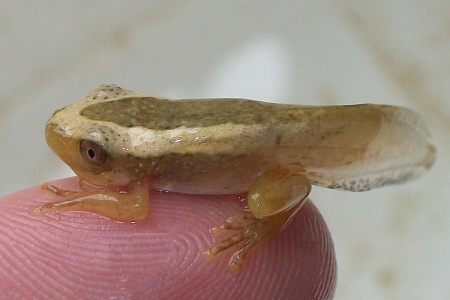 Froglet File:greater leaf foldig froglet 26 12 2010.jpg - wikimedia ...