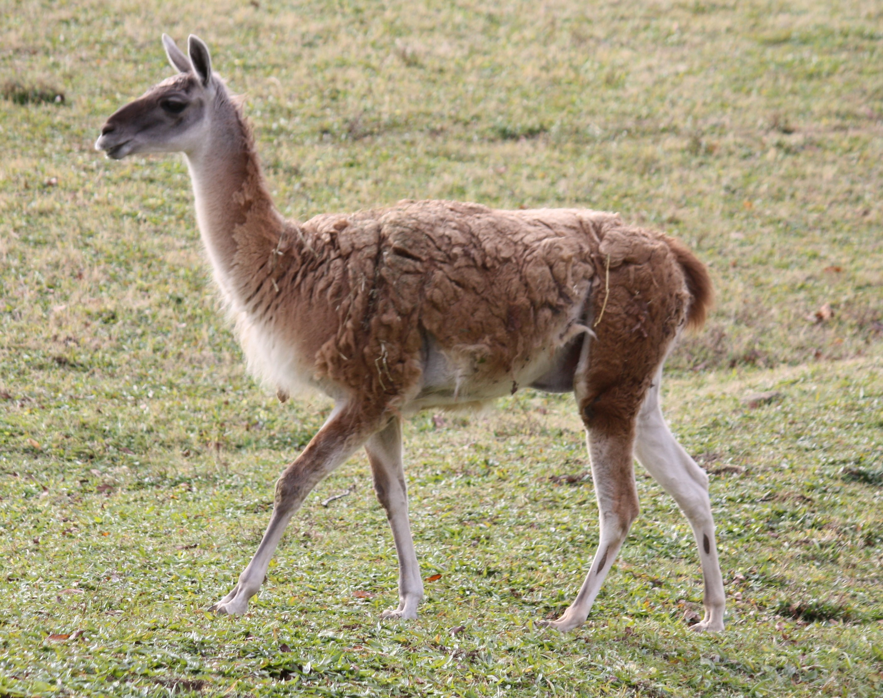 Fauna Of The Andes Wikipedia