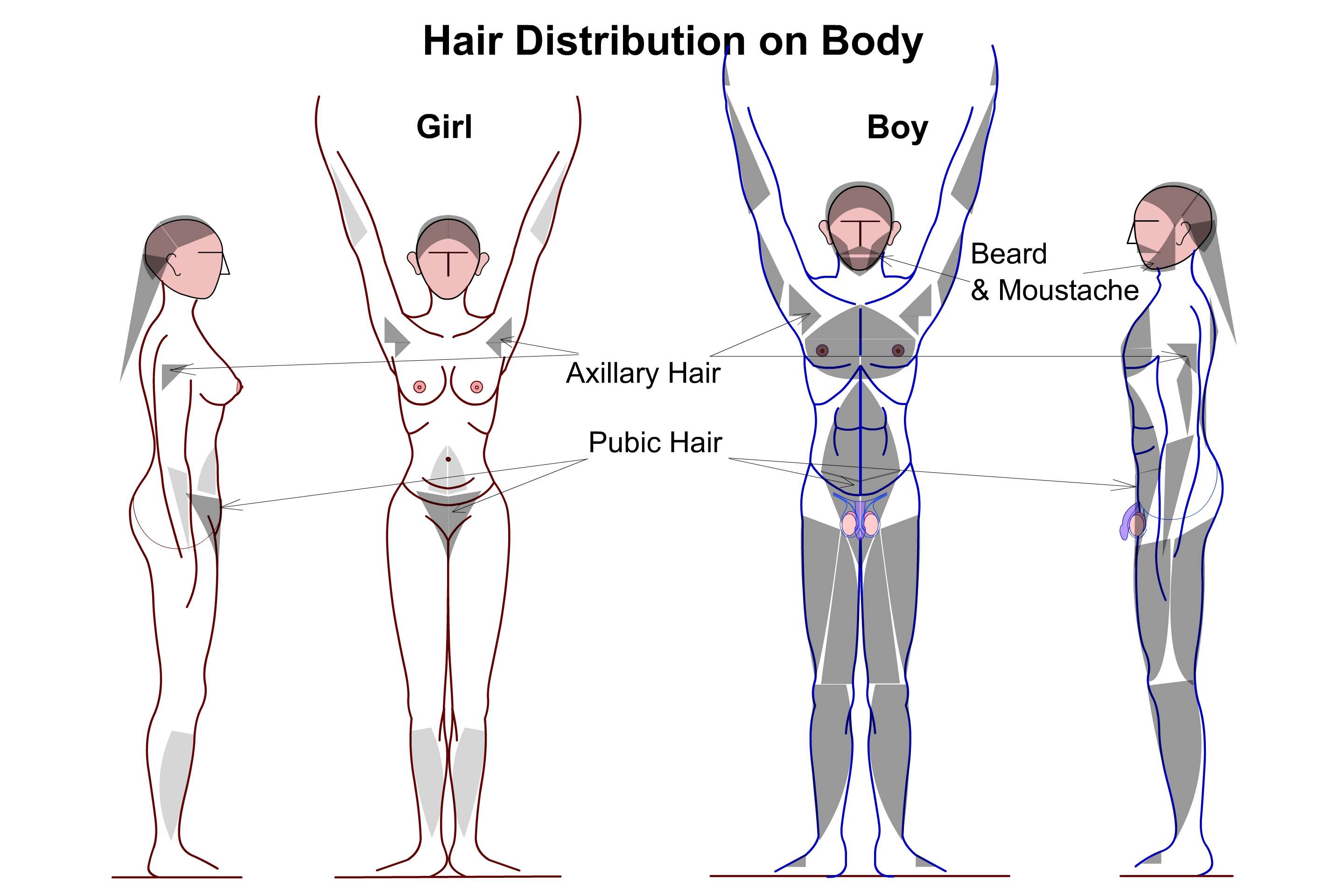 File Hair Distribution On Human Male Amp Female Body Jpg
