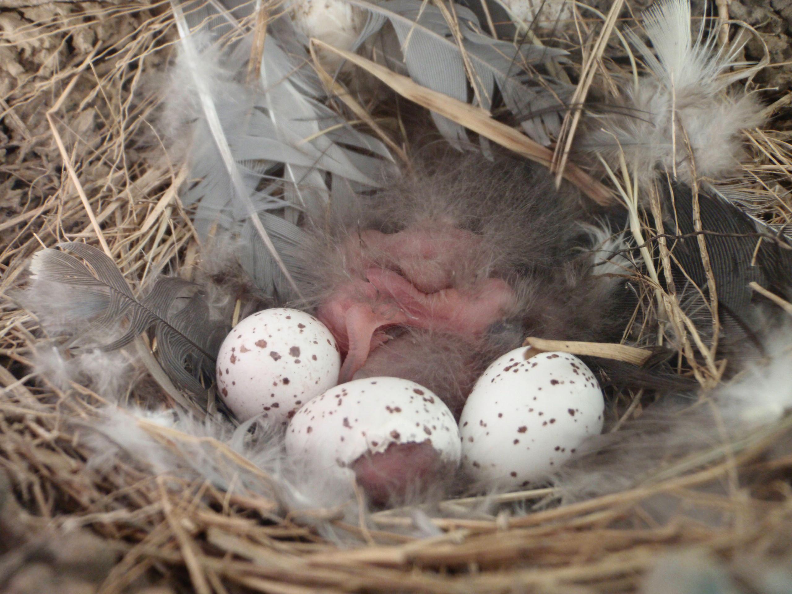 File:Hatching barn swallow (Hirundo rustica) nestlings ...