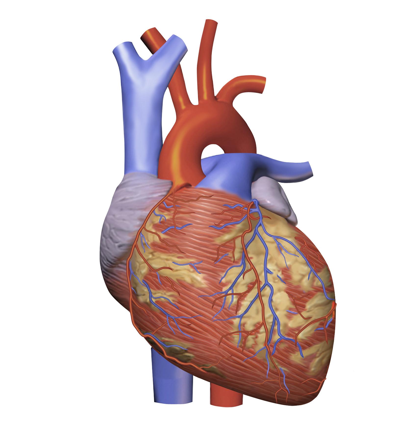 Файл:Heart Model.png — Викисловарь