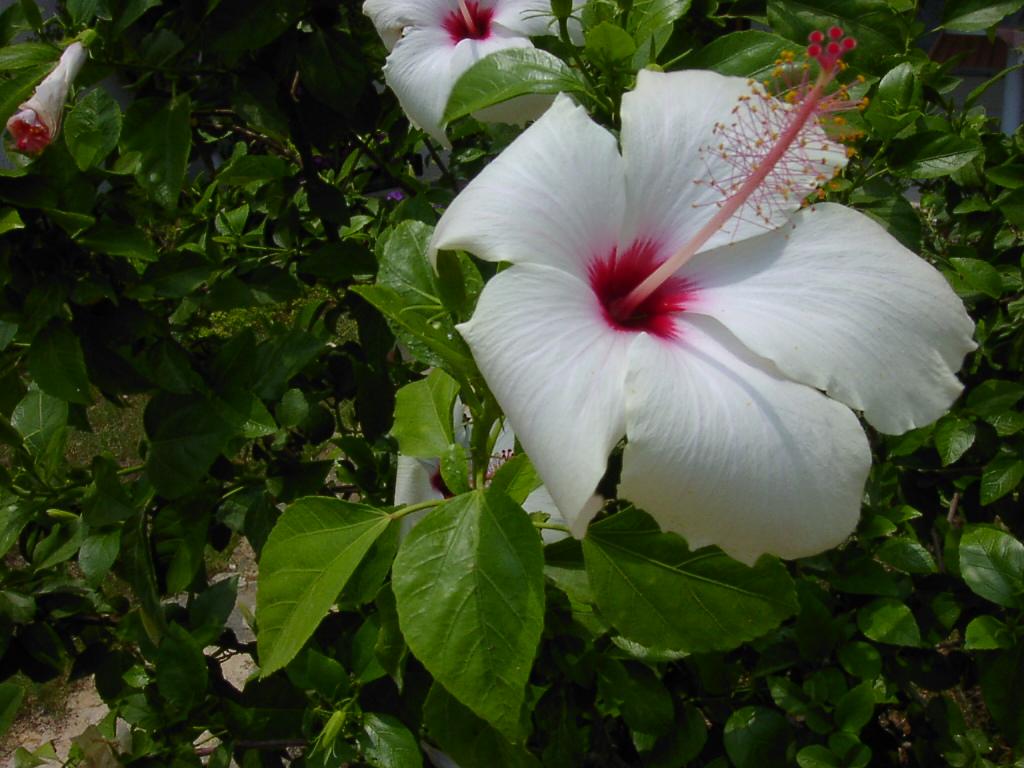 Filehibiscus Rosa Sinensis Flowersjpg Wikimedia Commons