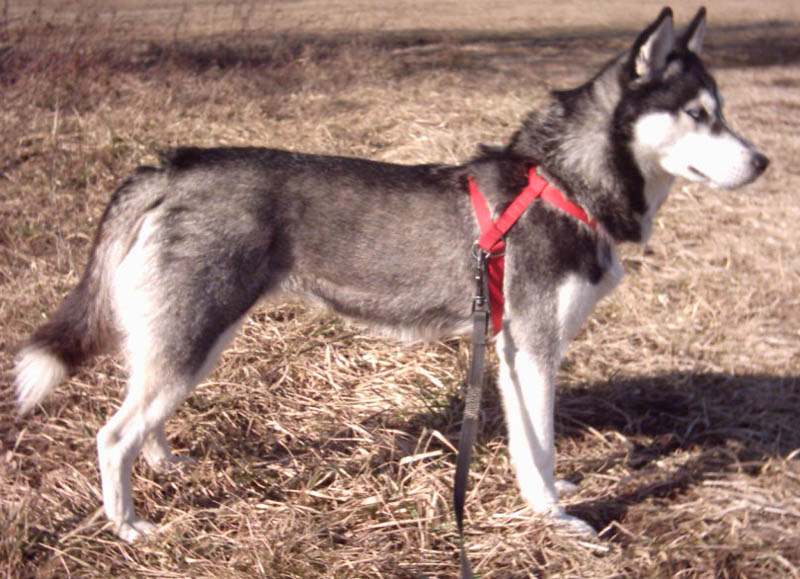 Gray Curled Husky Tail