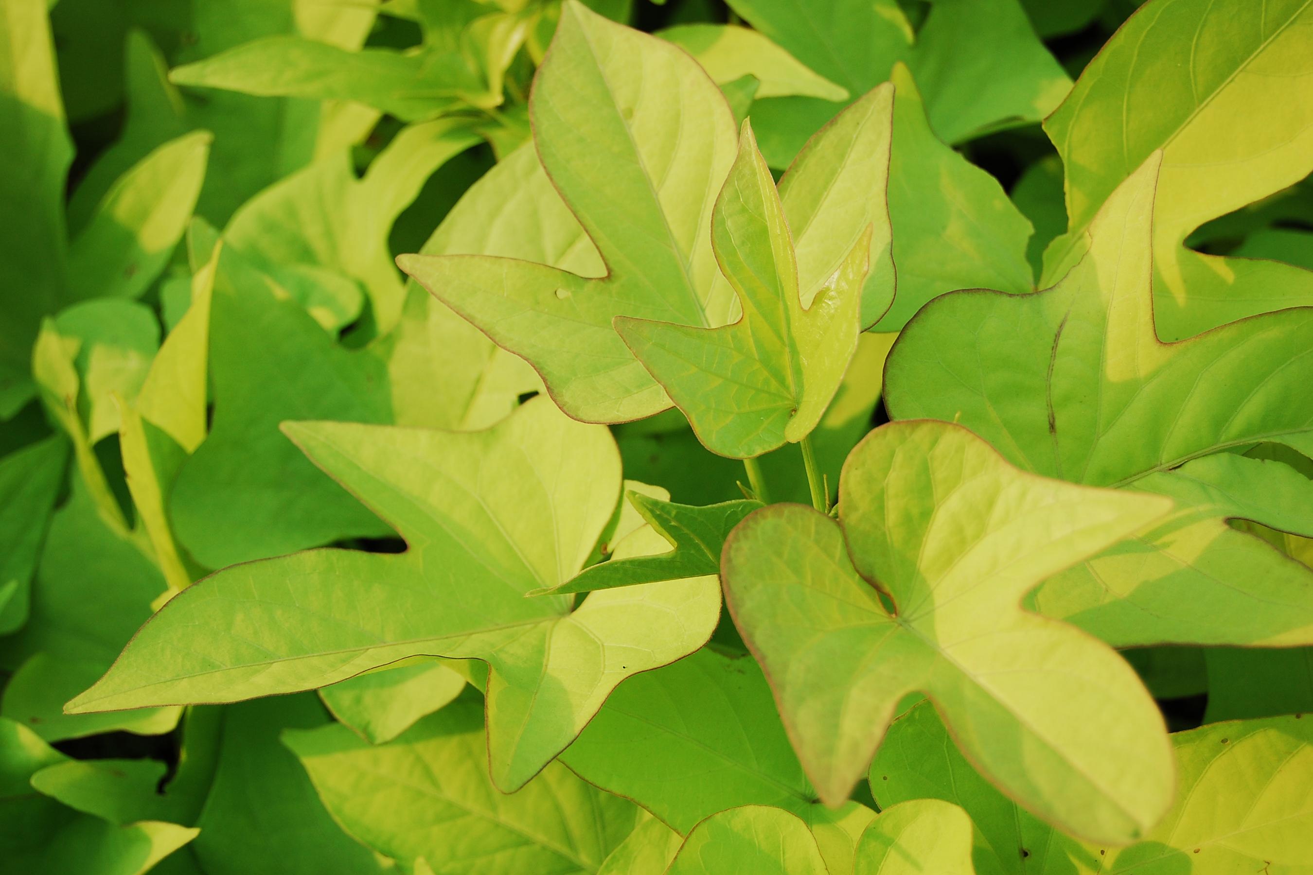 Description Ipomoea batatas from Taman Mini Indonesia Indah.jpg
