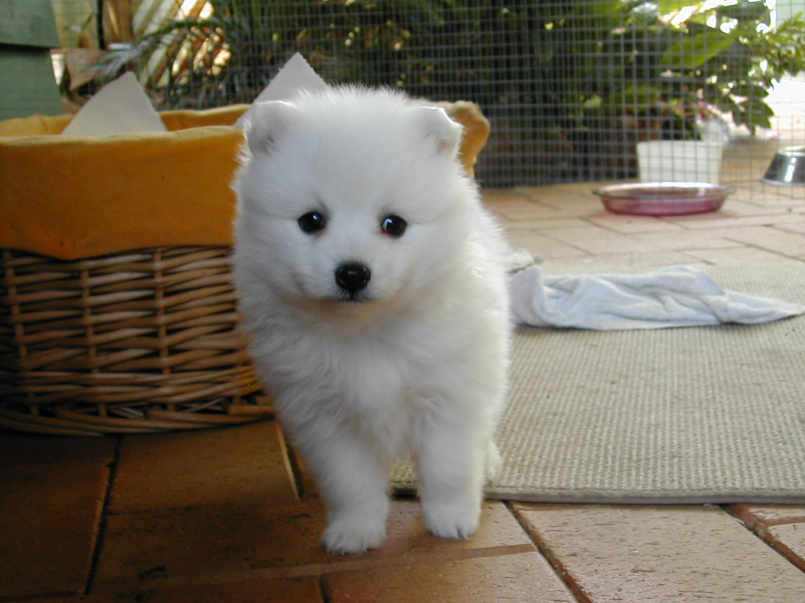 File:Japanese Spitz Puppy JPG - Wikimedia Commons