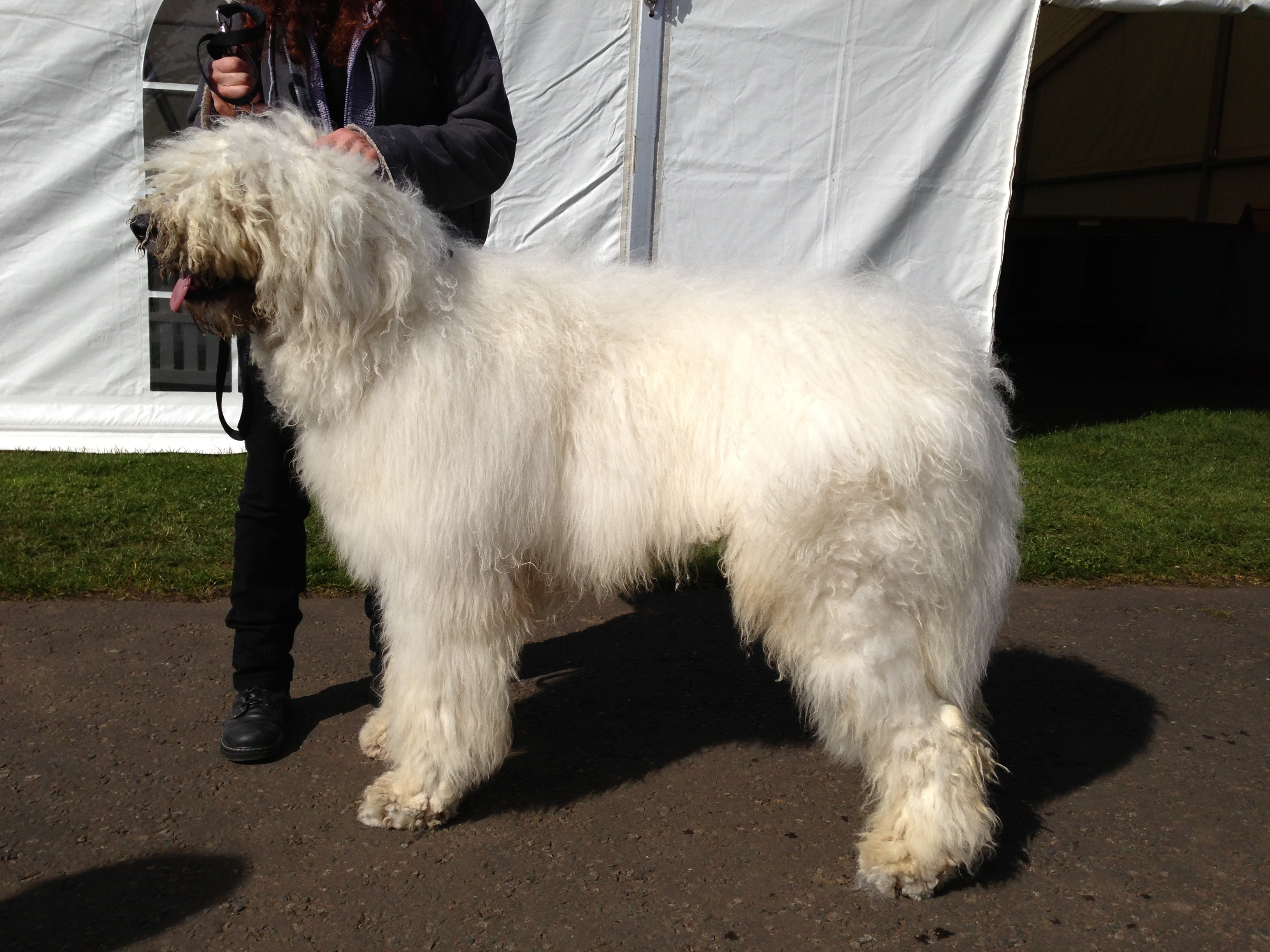 Large Long Haired Dog Breed With A Bluetongue