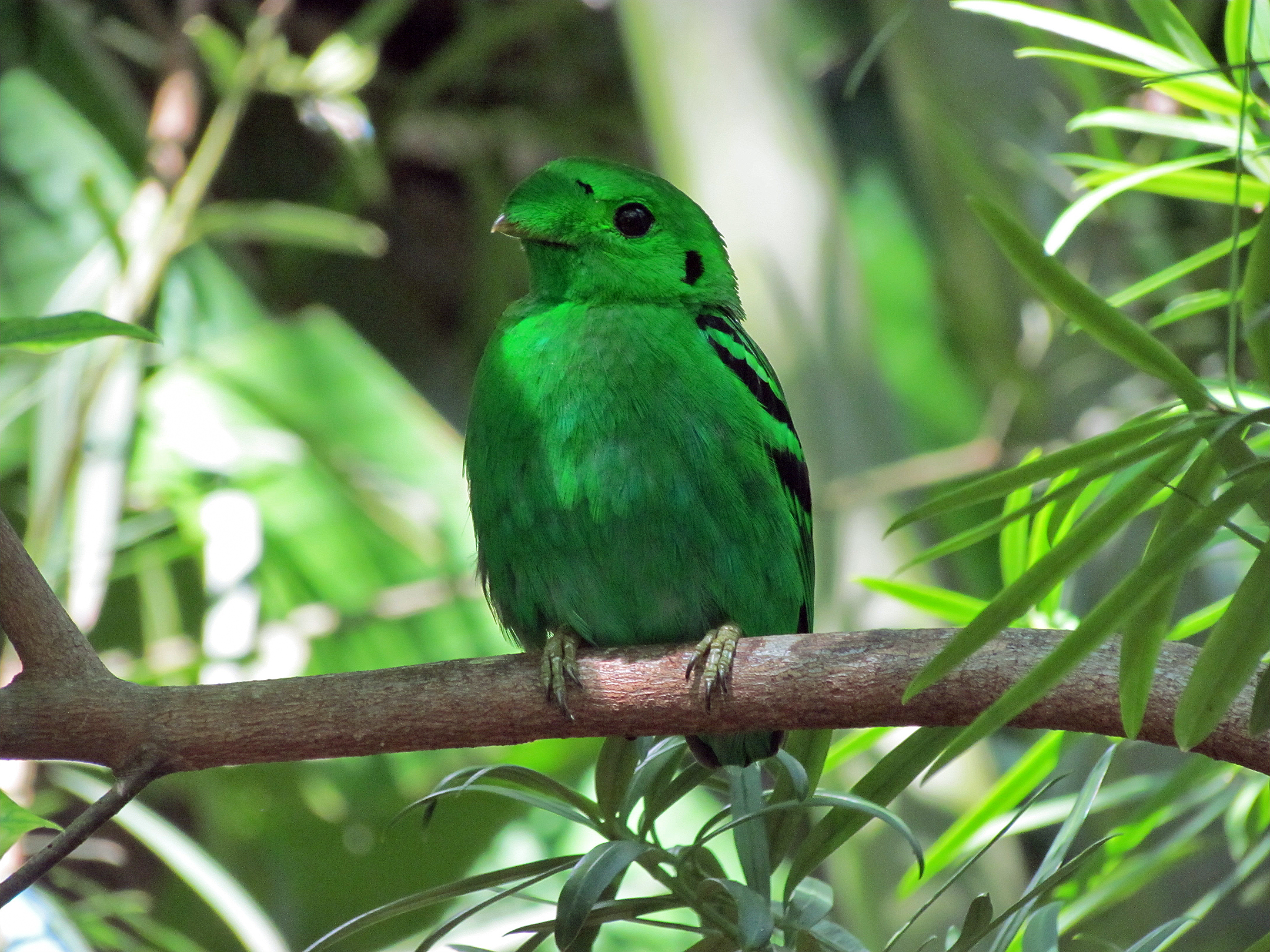 https://upload.wikimedia.org/wikipedia/commons/8/8b/Lesser_green_broadbill_%287150956749%29.jpg