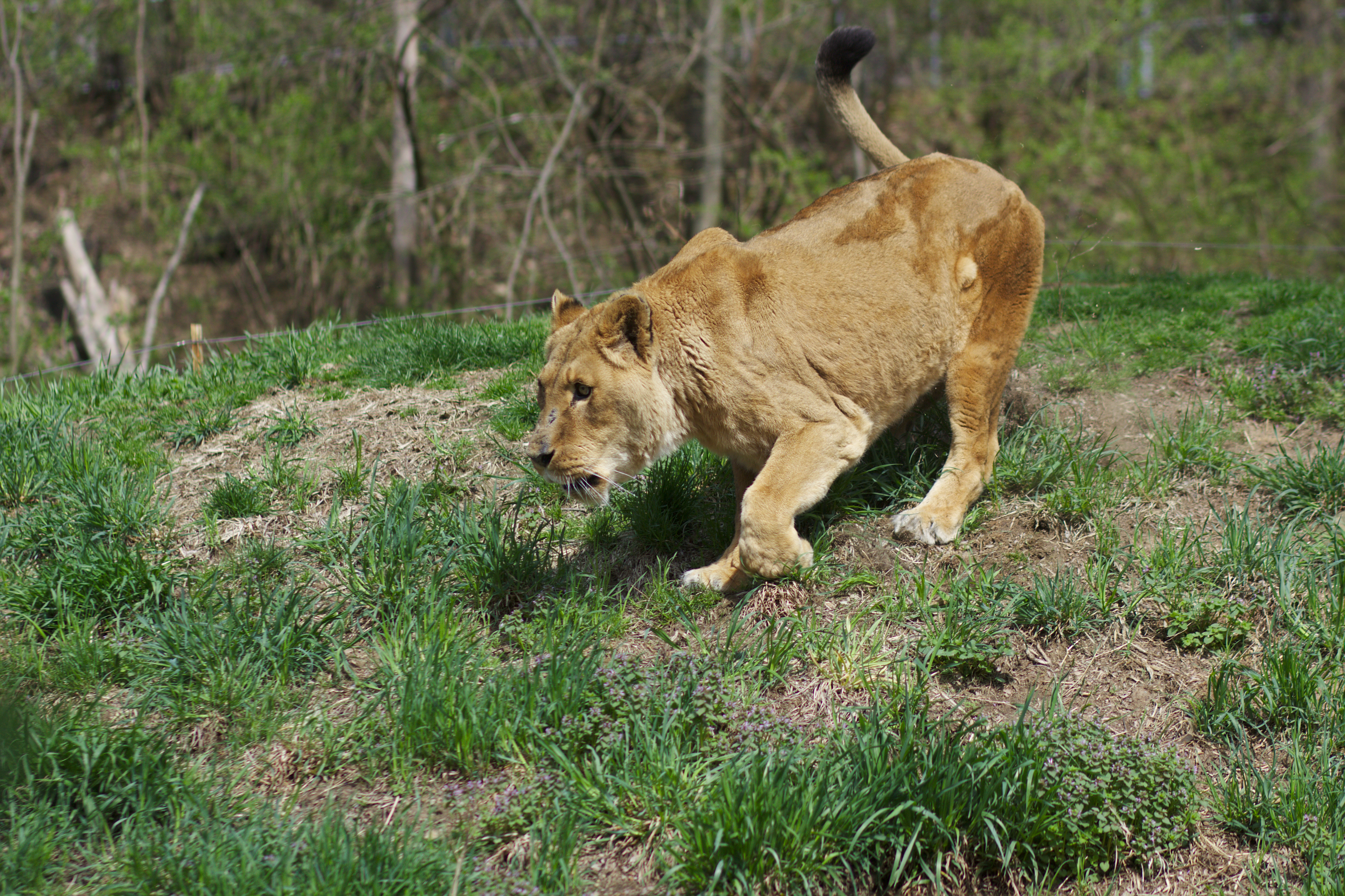 file lion at the pittsburgh zoo running towards food jpg wikimedia