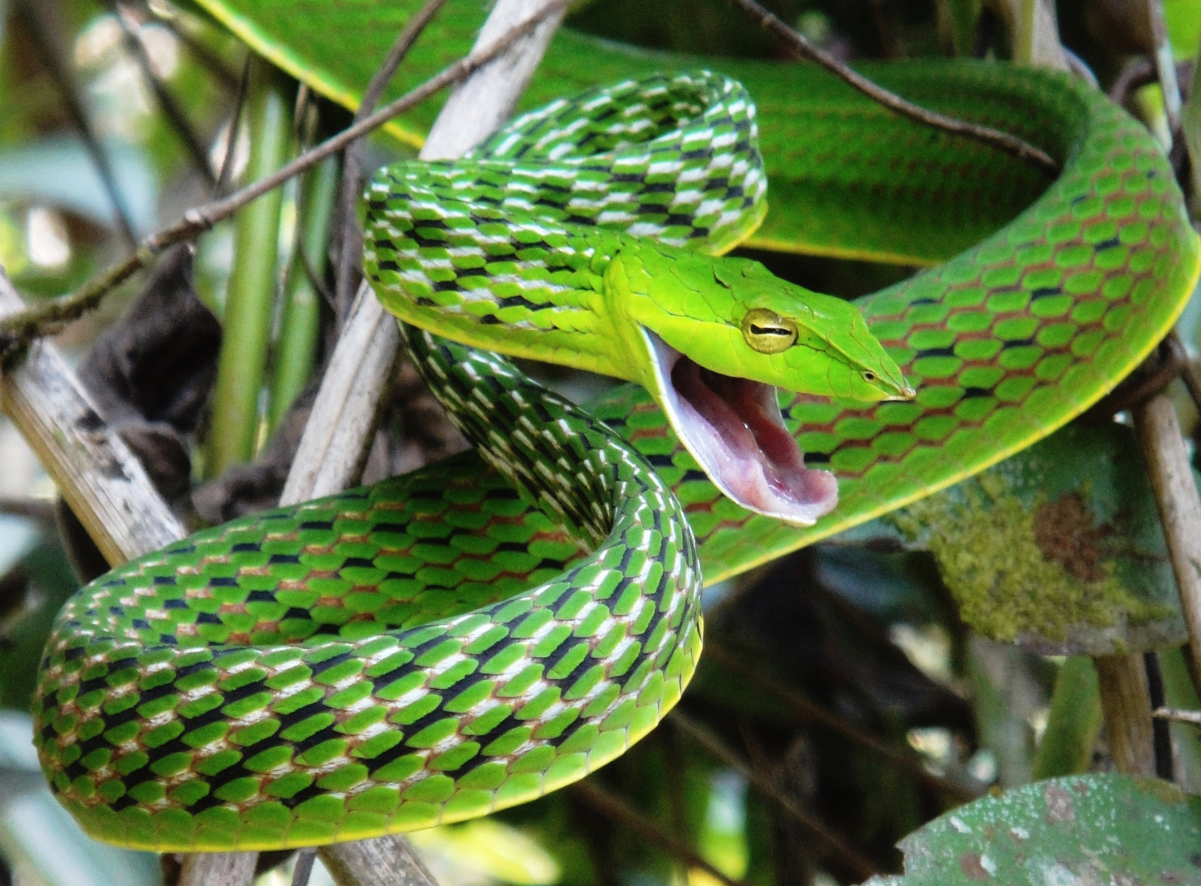 File Long Nosed Whip Snake Jpg Wikimedia Commons