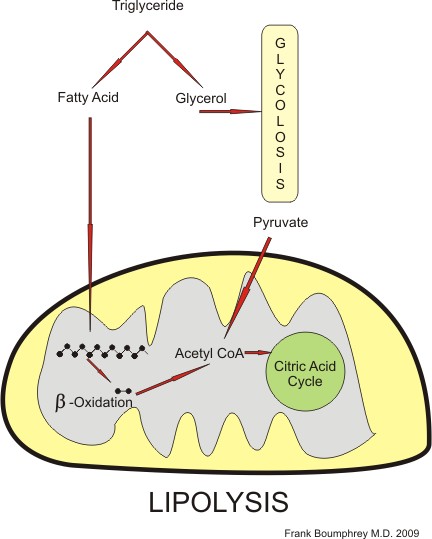 Lypolysis pathway in mitochondria