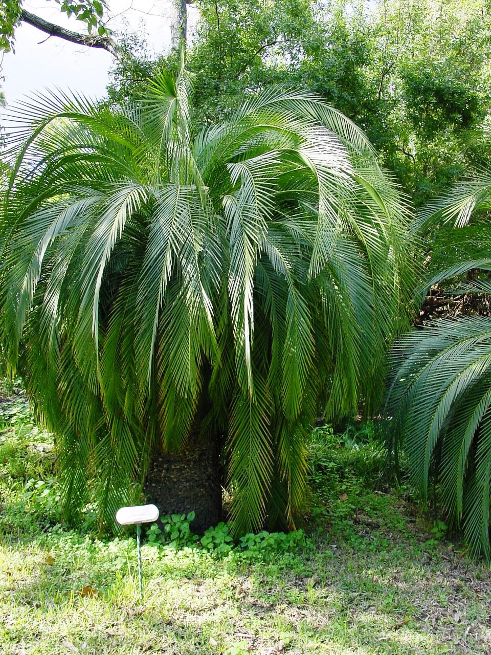 Macrozamia moorei wikipedia for Planta ornamental zamia