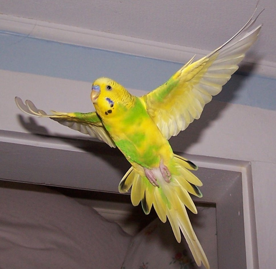 how to teach a parakeet to fly to you
