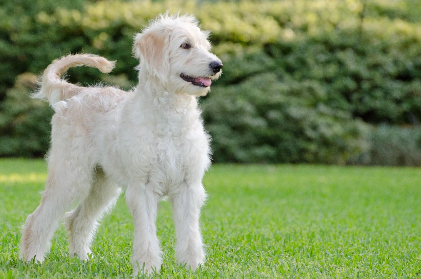Goldendoodles Best Dogs