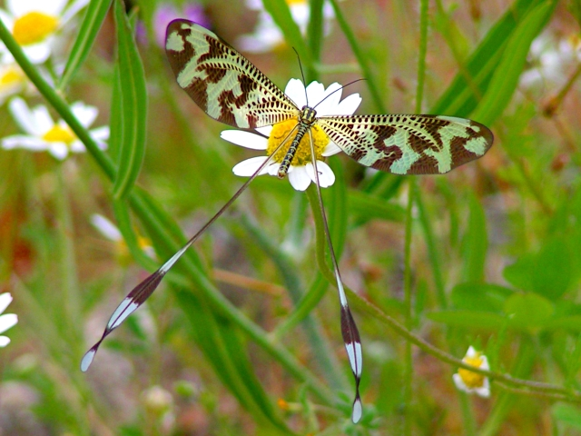 Nemoptera_bipennis.jpg