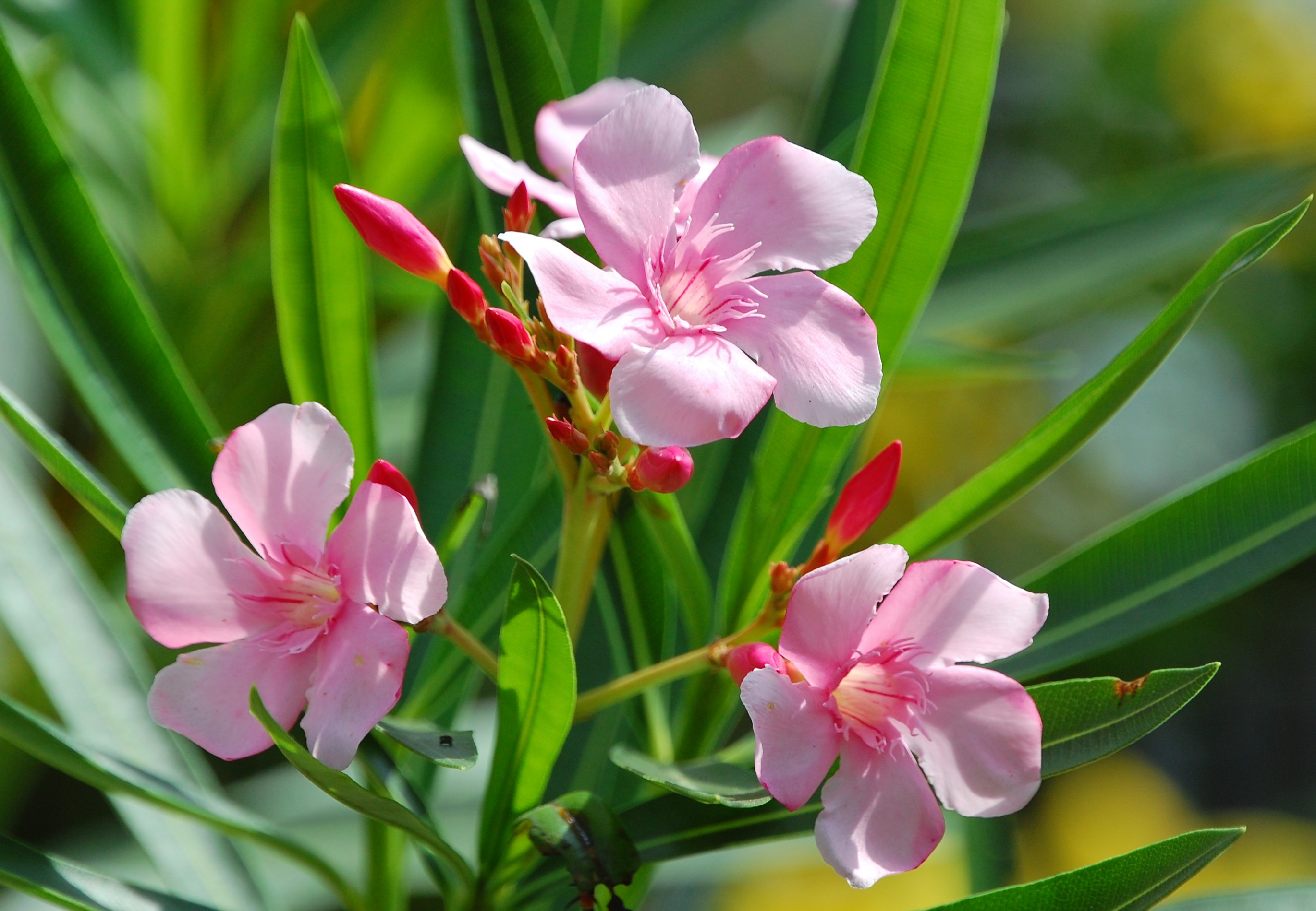 Horsedvm toxic plants for horses oleander family mightylinksfo