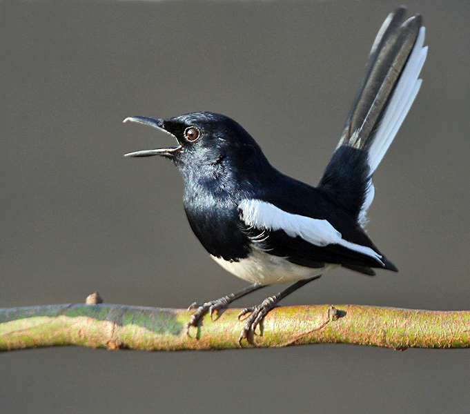 File:Oriental Magpie Robin (Copsychus saularis)- Male calling in the rain at Kolkata I IMG 3746.jpg