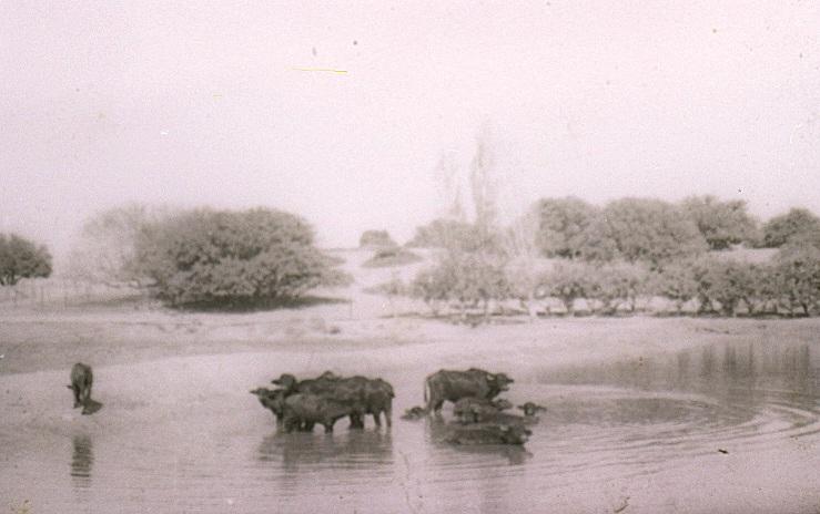 ג'מוסים בביצות ואדי חוארת