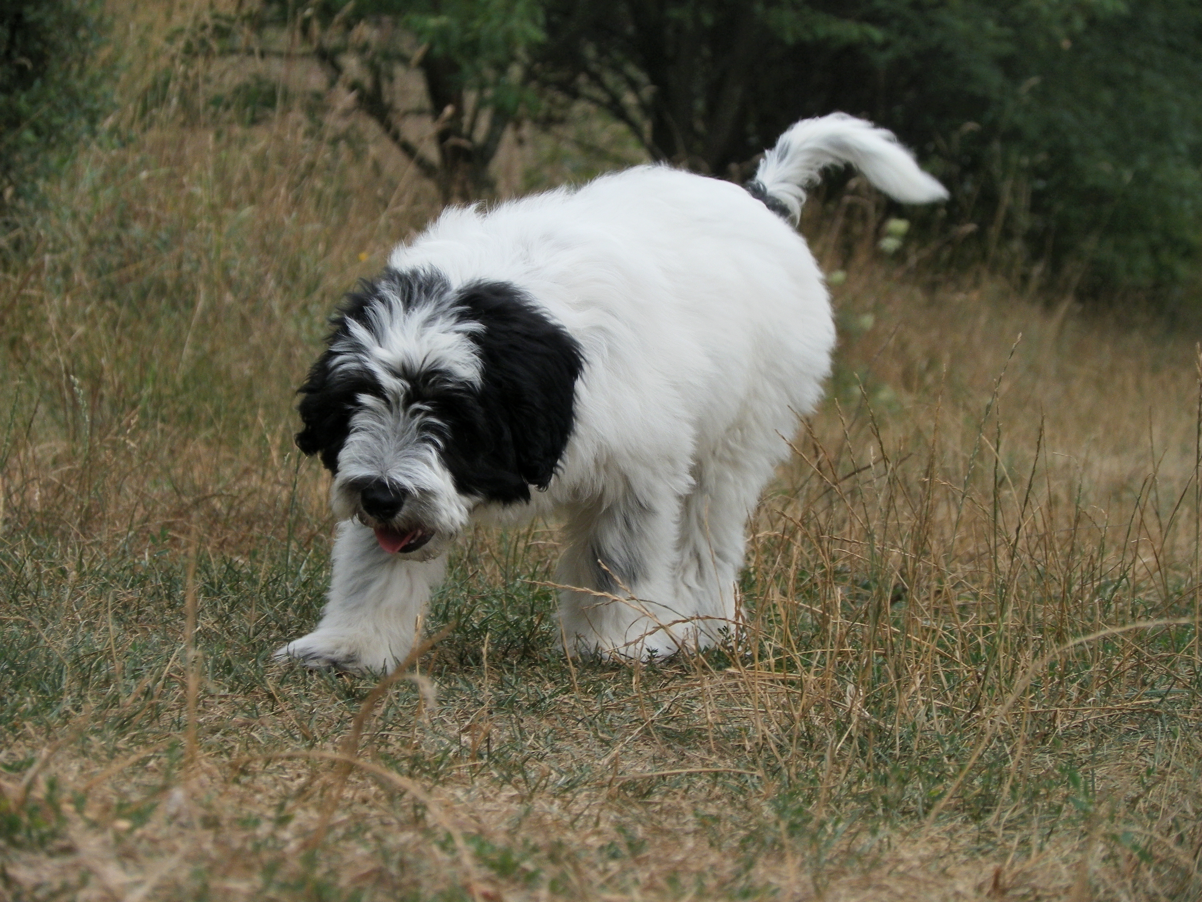 Description Polish Lowland Sheepdog puppy Bruno by Vetulani.JPG