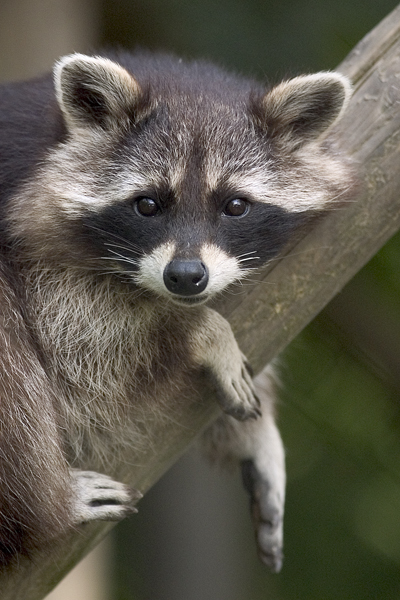 File:Procyon lotor (raccoon).jpg