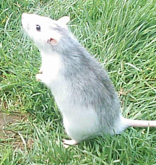 que mange les rats fruitiers