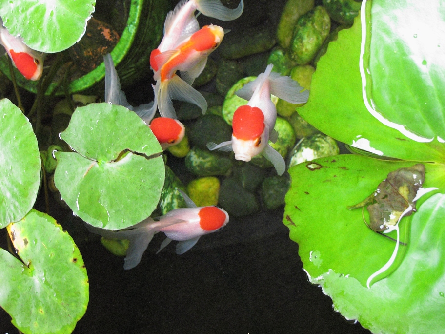 Red Oranda goldfish in outdoor pond.jpg