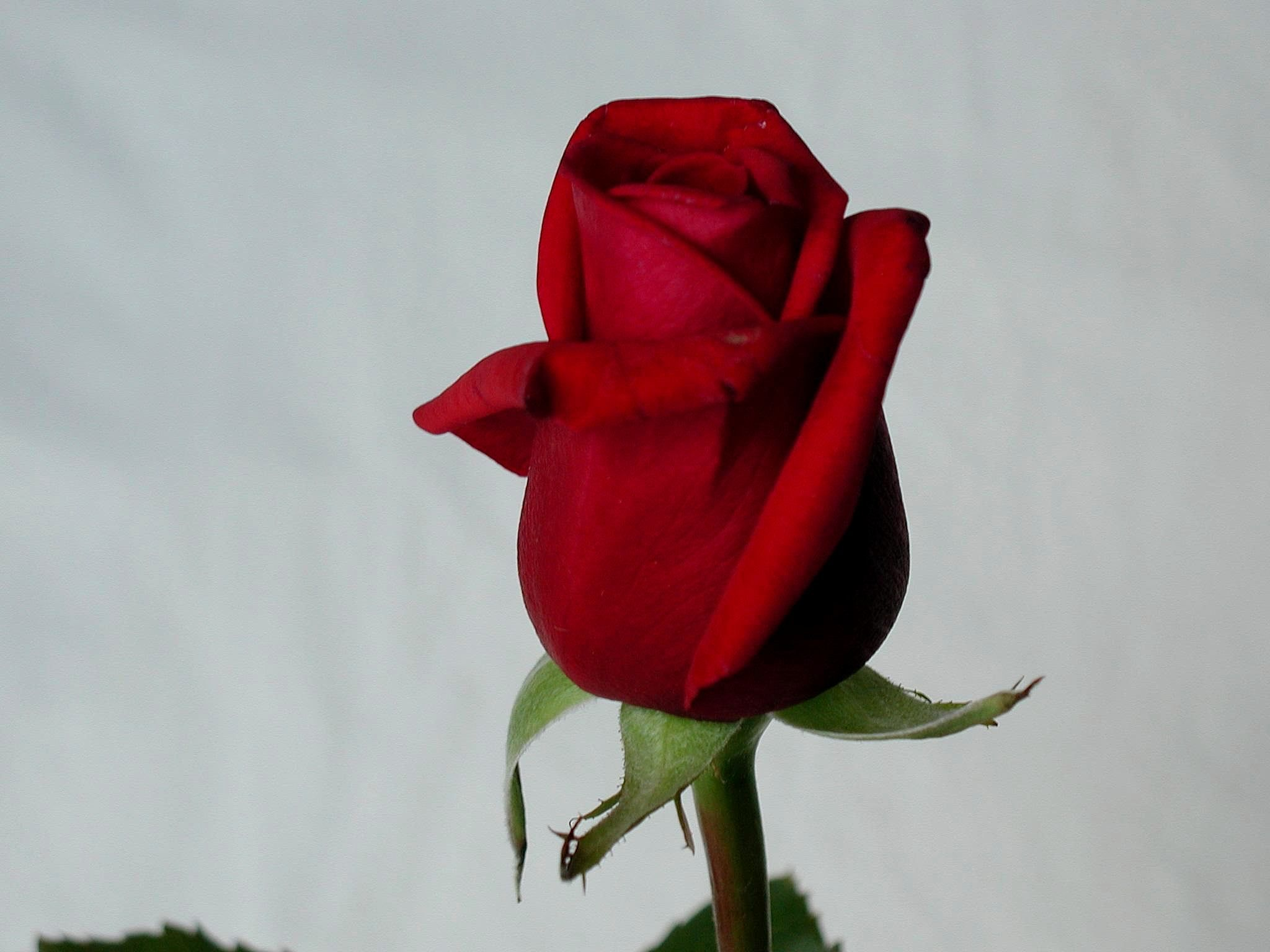 File Rose Flower Jpg