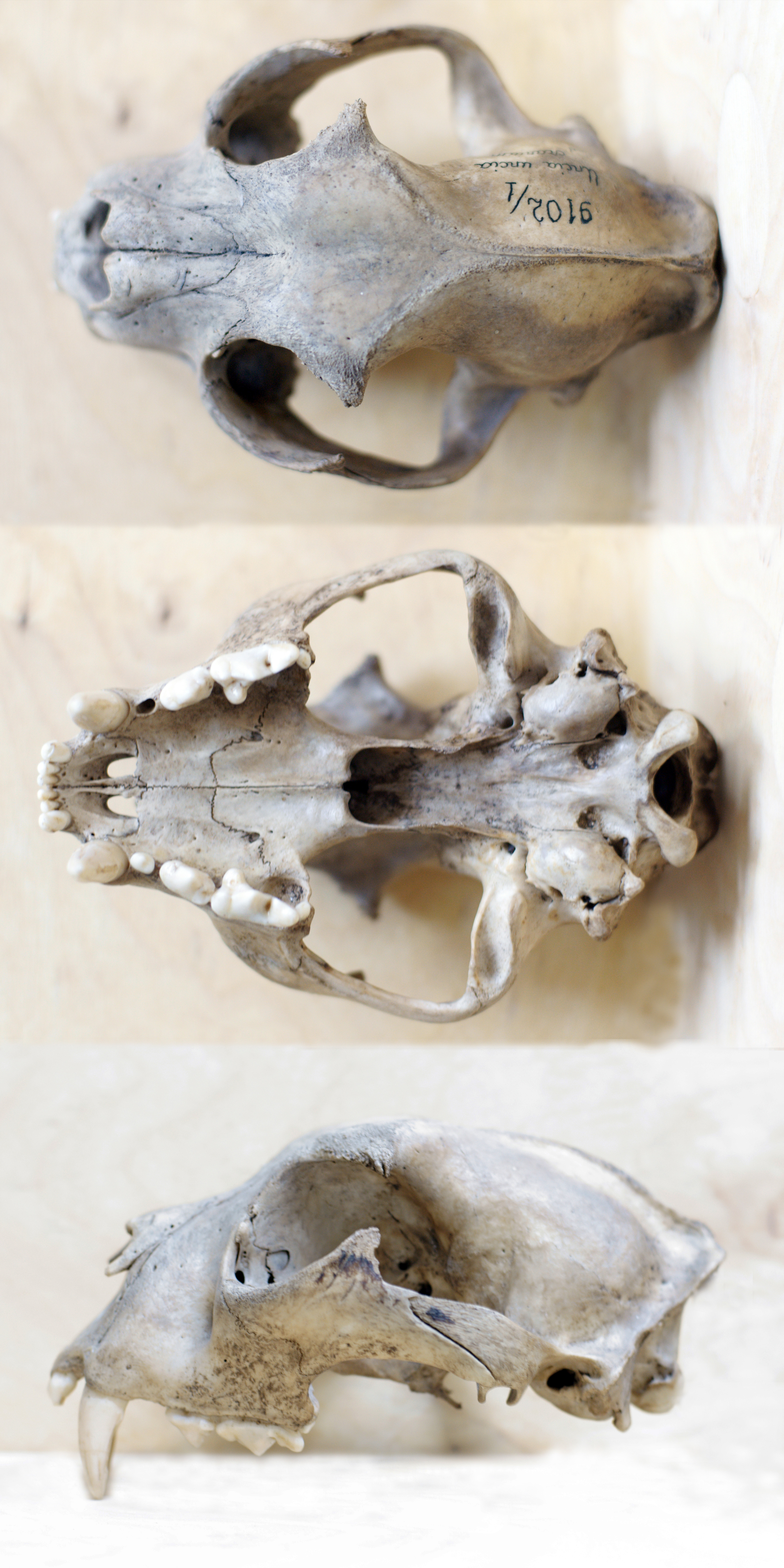 [Image: SL_skull_views.jpg]