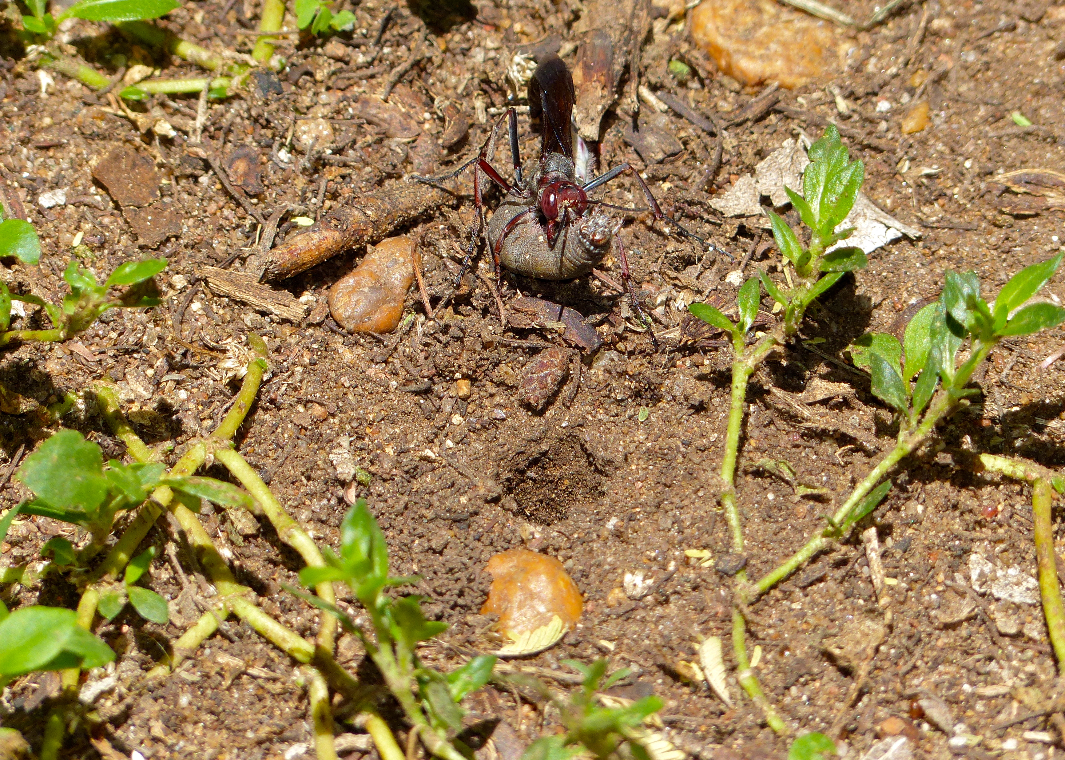 Bộ sưu tập côn trùng 2 Sand_Wasp_%28Ammophila_calva%29_carrying_a_paralyzed_caterpillar_near_its_underground_nest_%2813850213525%29