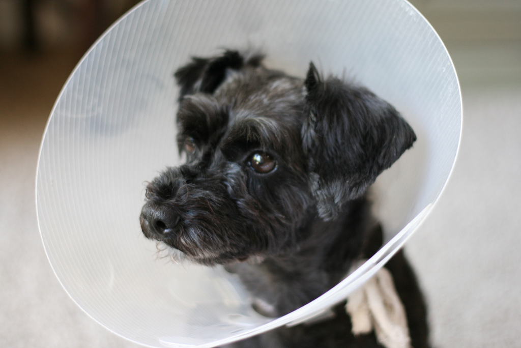 upload.wikimedia.org/wikipedia/commons/8/8b/Schnoodle_-_dog_cone.jpg
