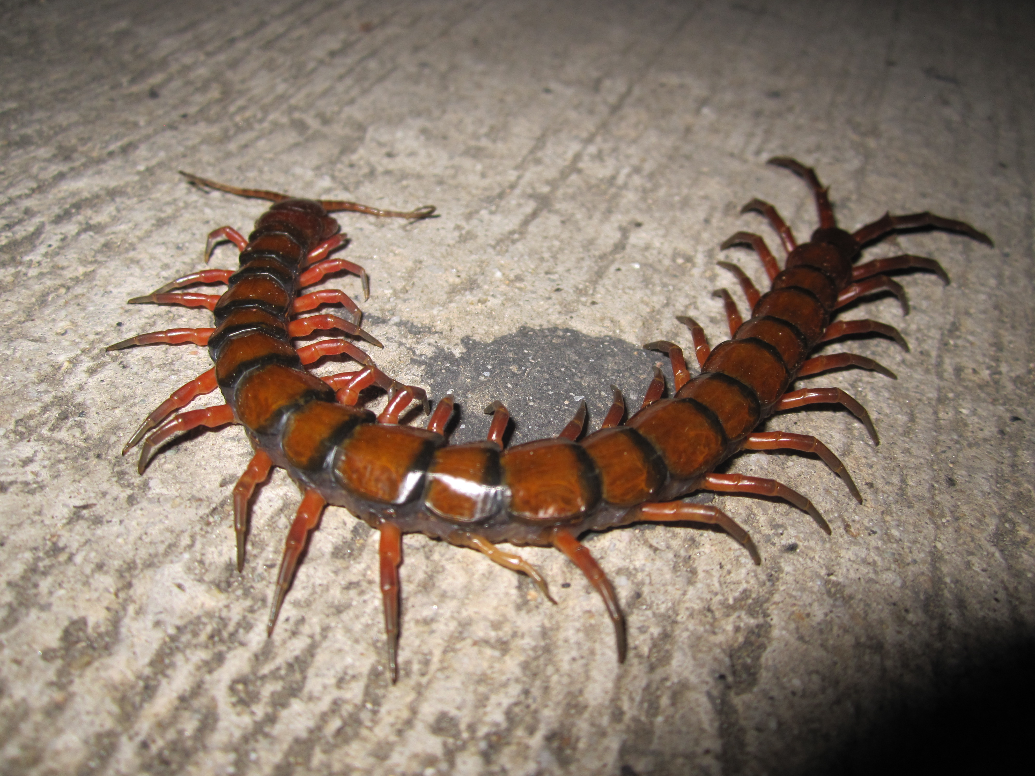 A few of my scolopendras Scolopendra_gigantea