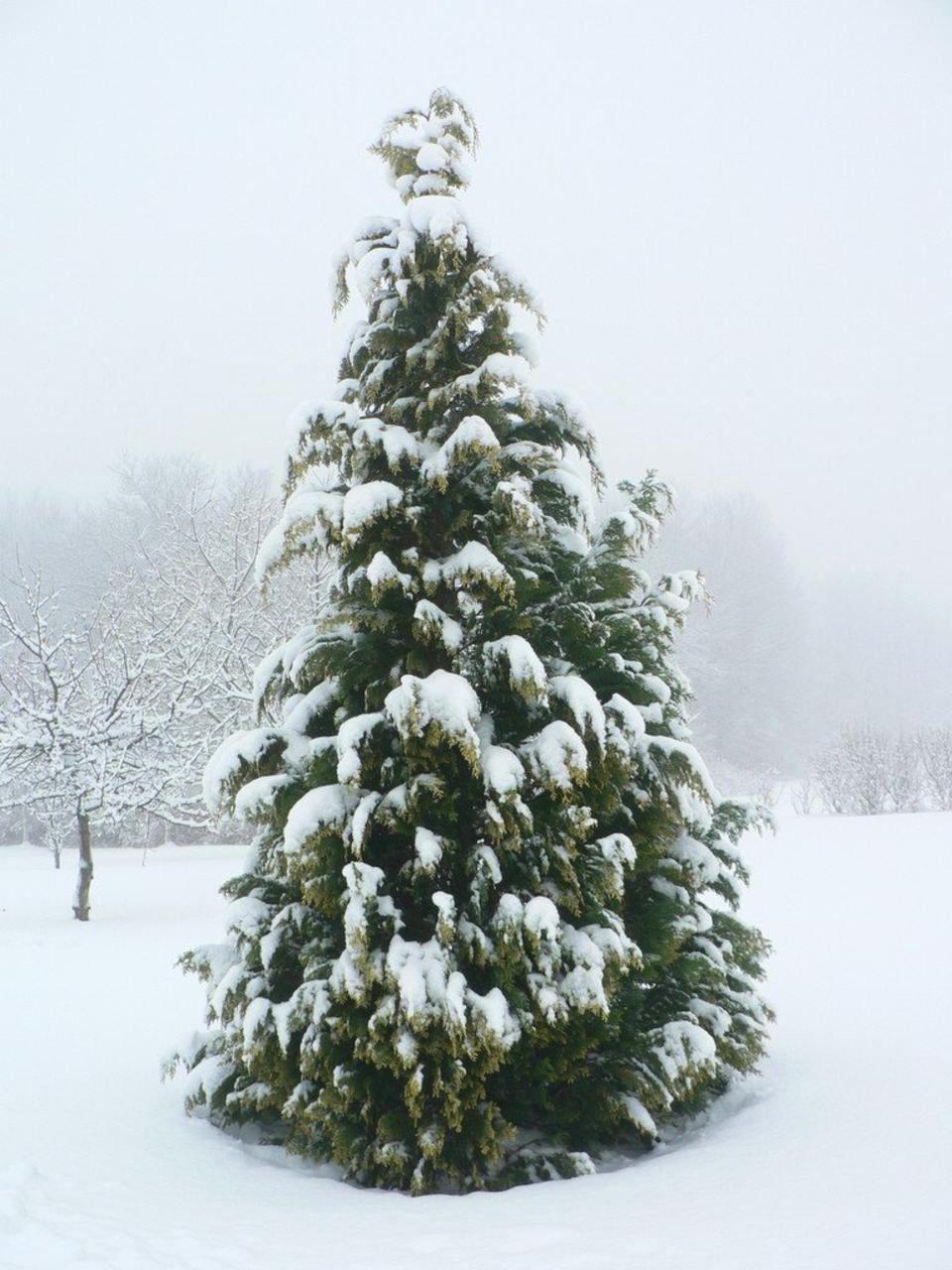 spruce tree snow - photo #31