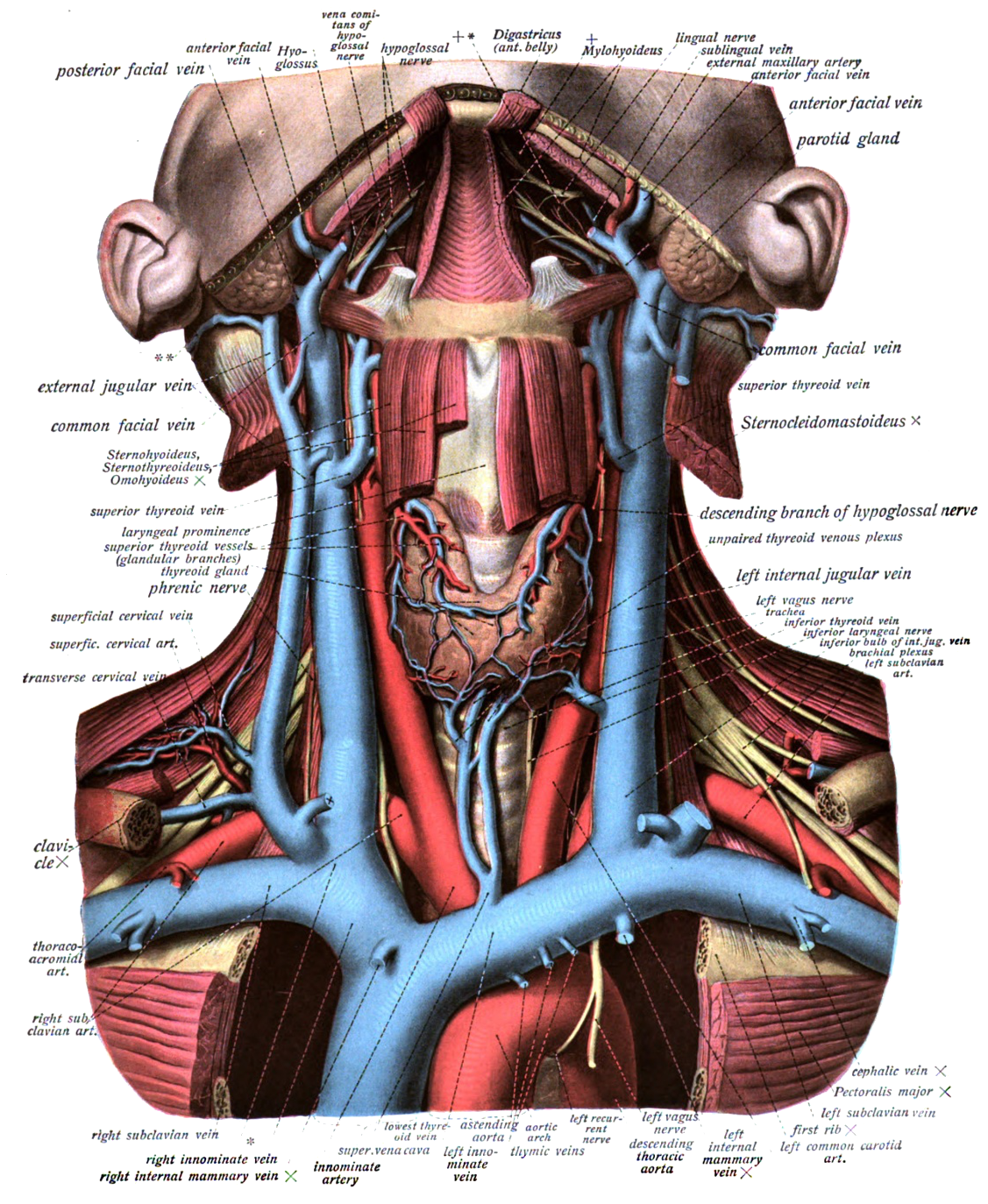 Innominate Vein Anatomy Gallery - human body anatomy