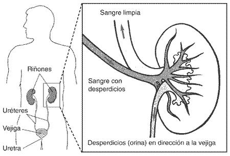 La diabetes en piura la diabetes en piura for En k parte del cuerpo estan los rinones