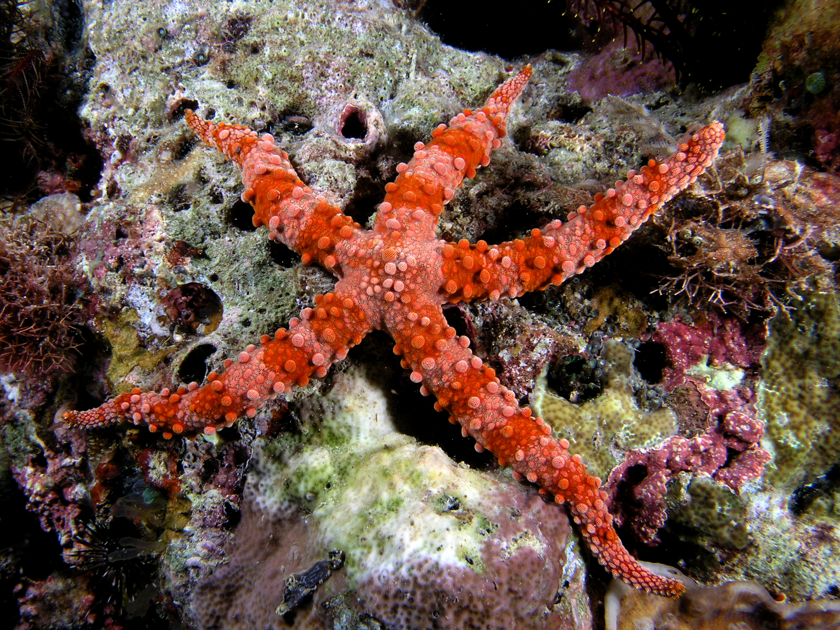 Starfish red komodo by Nick Hobgood via Wikipedia
