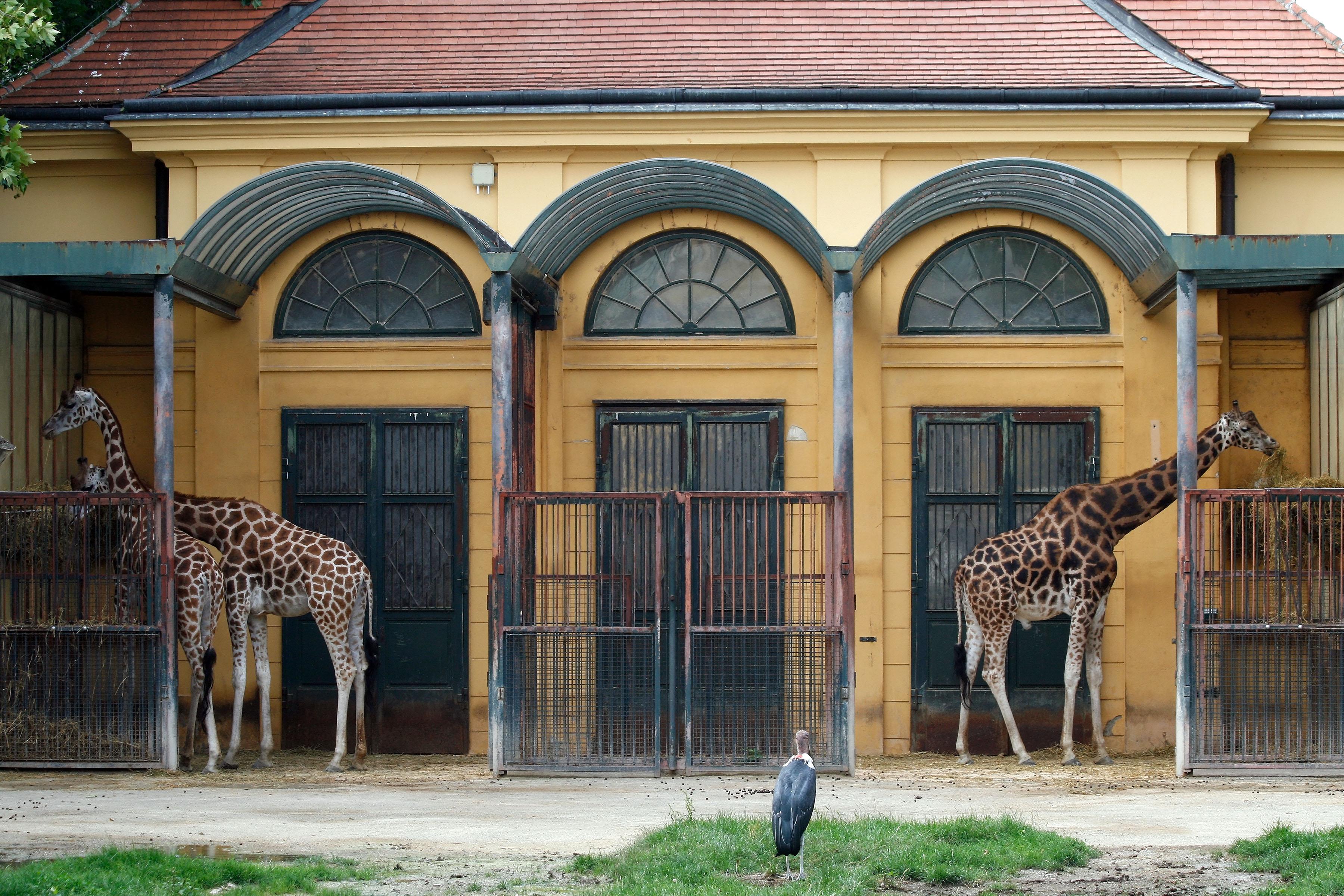 File Tiergarten Sch 246 Nbrunn Giraffen 2010 Jpg Wikimedia