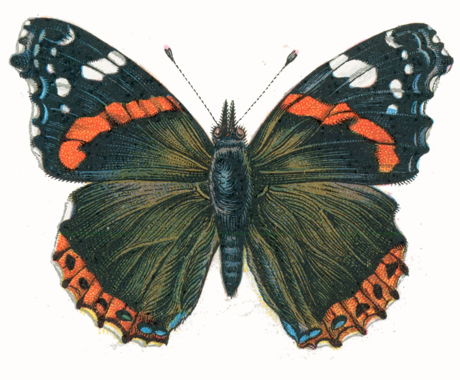 vanessa butterfly drawing images - 800×660