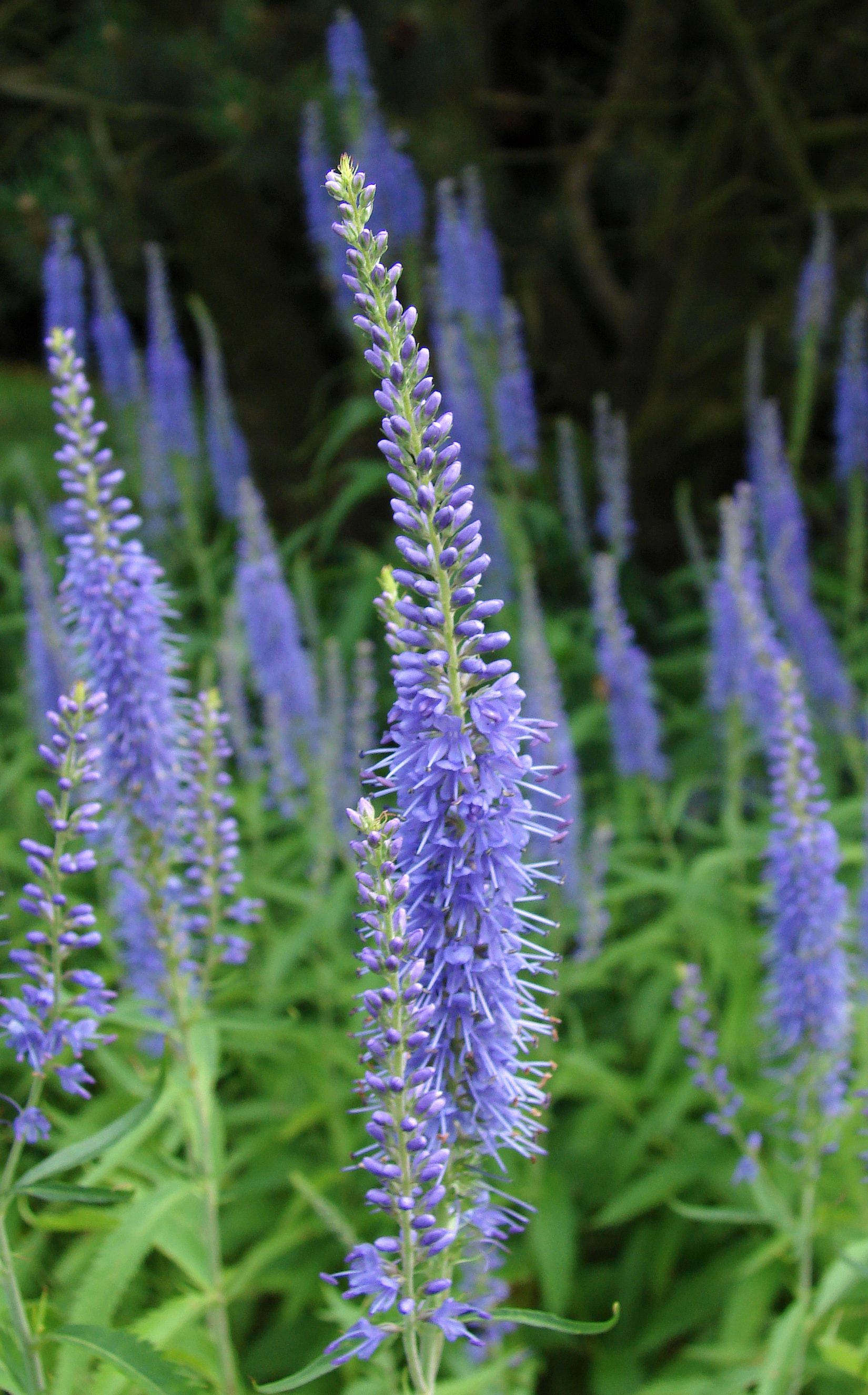 File:Veronica-longifolia.jpg - Wikimedia Commons