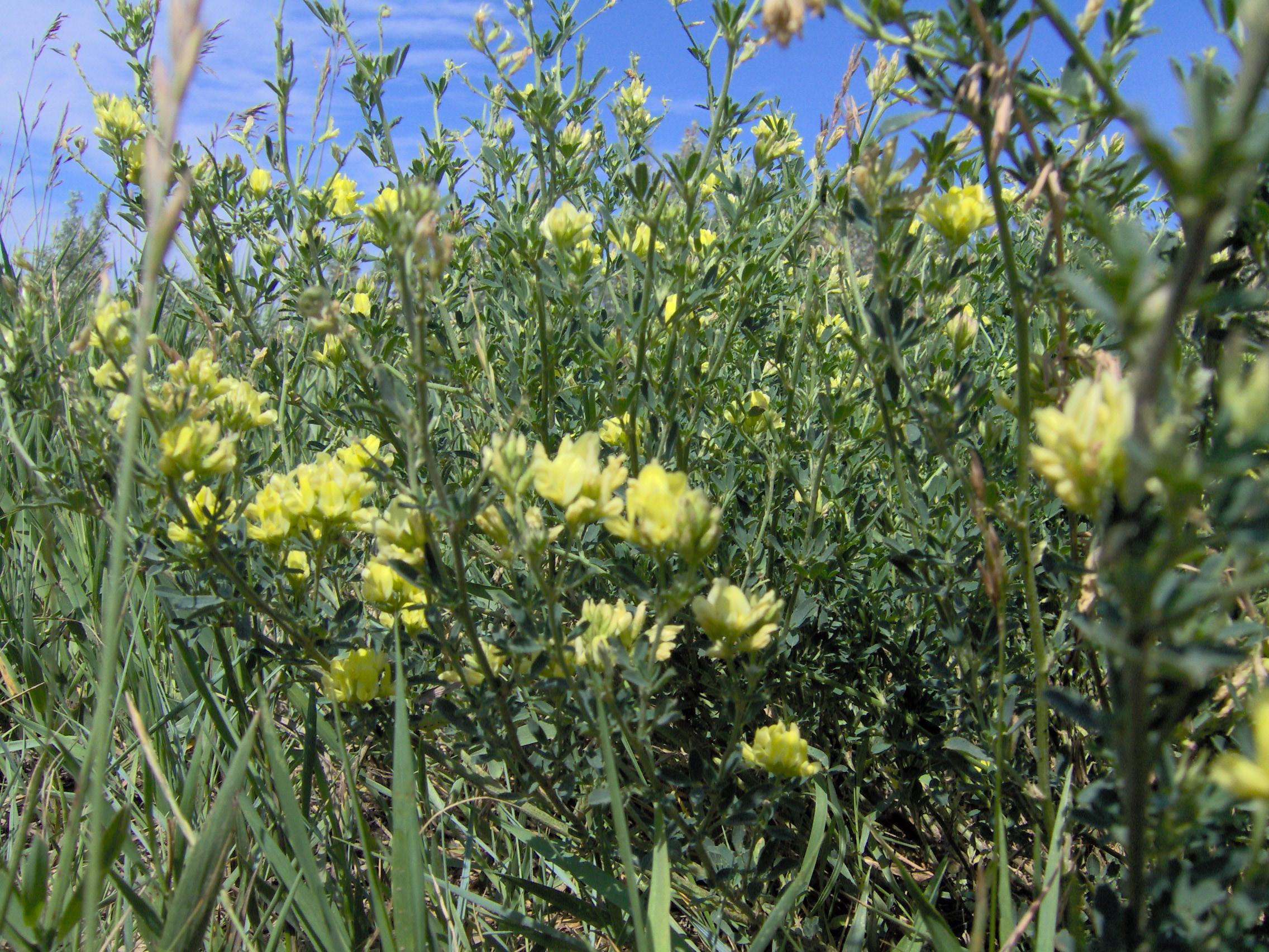 Filewhiteprairieflowerg wikimedia commons filewhiteprairieflowerg mightylinksfo