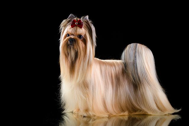 Russian Salon Dog Wikipedia